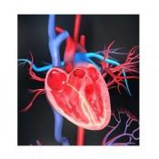 Heart - Circulatory System